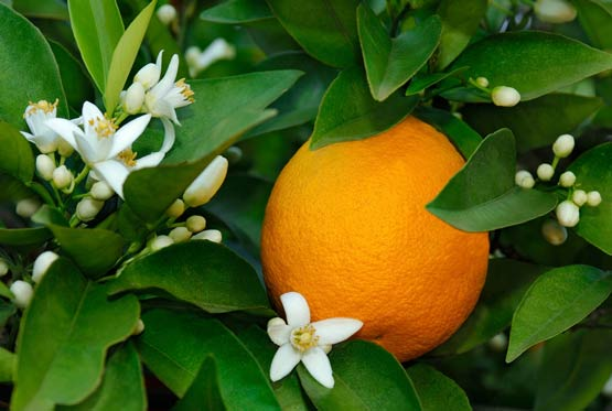خواص بهار نارنج در طب سنتی