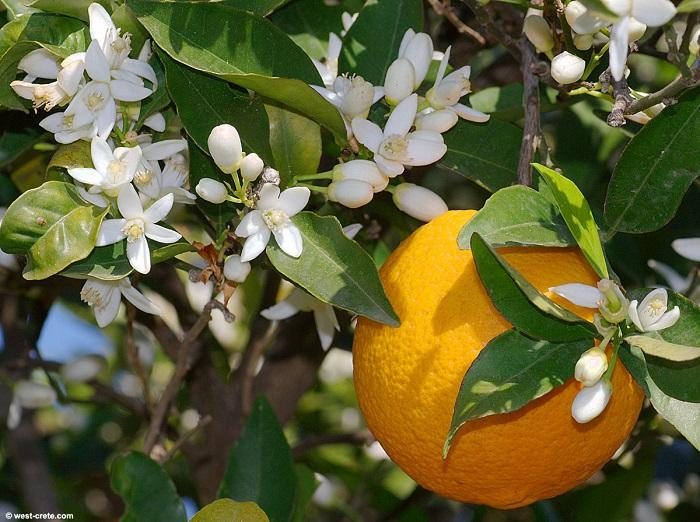 طرز تهیه دمنوش بهار نارنج