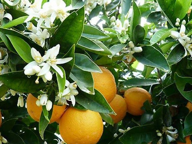 خواص و طرز تهیه دمنوش بهار نارنج